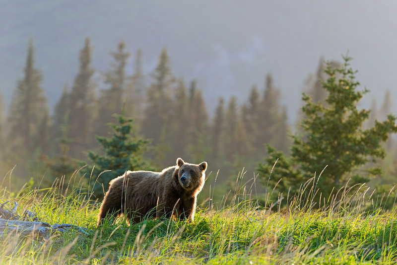 Alarge bear in evening light, Lake Clark National Park, Alaska
