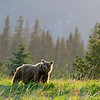 Alarge bear in evening light, Lake Clark National Park, Alaska
