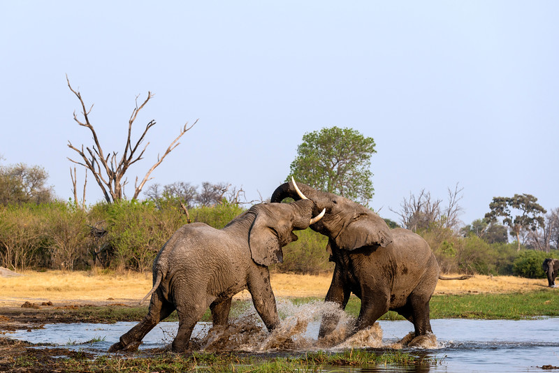 elephants fighting in the river, Khwai, Botswana, Africa