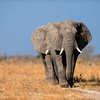 two large elephants walking along their pathe to water