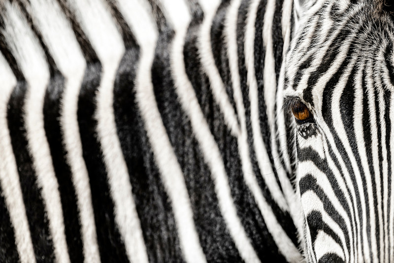 Close up abstract zebra image in landscape format