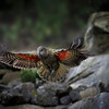 New Zealands mountain parrot, the Kea.