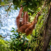 Orangutan with baby, Borneo.
