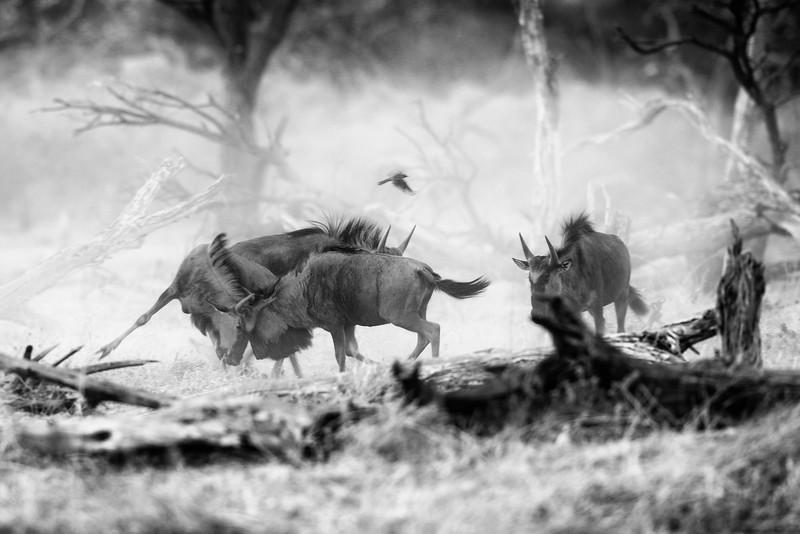 Wildebeest play fighting in the desert dust before sunrise. Khwai, Botswana