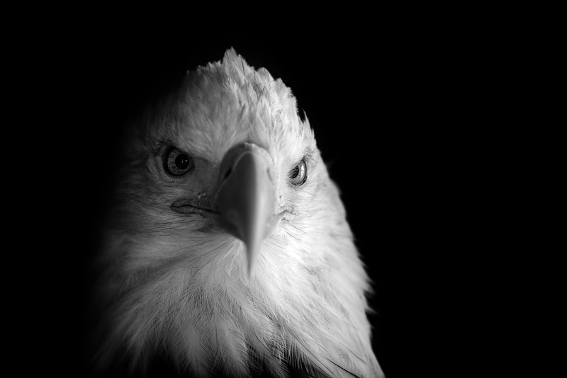 Black and white of a bald eagle, Alaska.