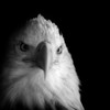 Black and white of a bald eagle, Alaska.