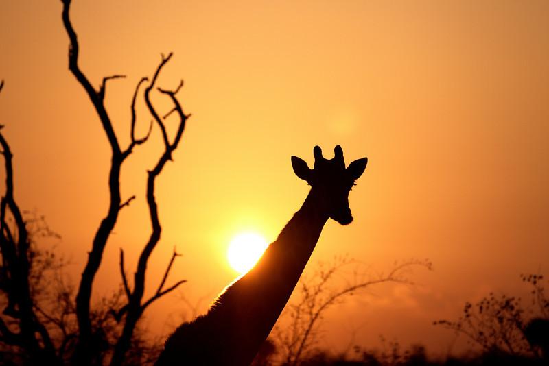 Giraffe at sunrise, Mashutu, Botswana, Africa