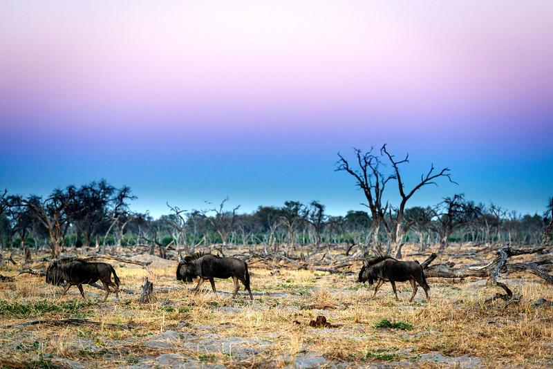 Wildebeest before sunrise