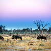 Wildebeest before sunrise