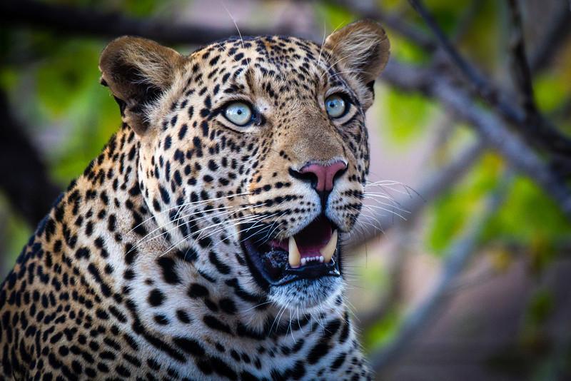 Large male leopard, Mashatu, Botswana. Africa