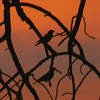 Western bluebirds at sunset