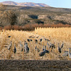 Sandhill cranes in Bosque del Apache - NM