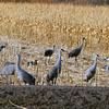 Sandhill crane - Bosque del Apache, San Antonio, NM