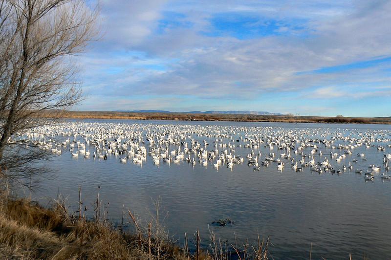 Snow geese - Bosque del Apache, San Antonio, NM