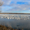 Snow geese - Bosque del Apache, San Antonio, NM