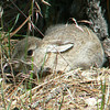 Cottontail rabbit hiding in plain view