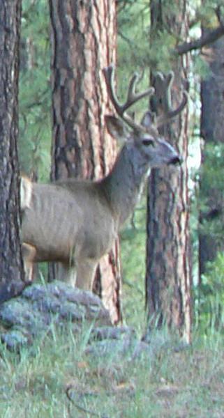 Mule deer Alpine, AZ