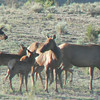 Cow elk with calves