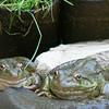 USFS Reserve - Frog Refugia