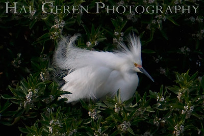 Snowy Egret male displays for a female Shoreline Park, Newark, California 0804LN-SE5