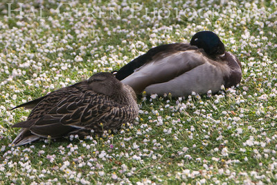 Afternoon Nap Shoreline Park, Newark, California 0804LN-DS1
