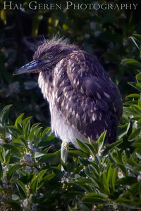 Black Crowned Night Heron Juvenile looking very juvenile Shoreline Park, Newark, California 0804LN-GB2