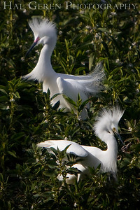 Snowy Egret males display Shoreline Park, Newark, California 0804LN-SE2