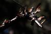 Monarch Butterflies<br /> Natural Bridges State Park, California<br /> 1211SC-B14E1