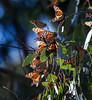 Monarch Butterflies<br /> Natural Bridges State Park, California<br /> 1211SC-B4