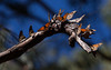 Monarch Butterflies<br /> Natural Bridges State Park, California<br /> 1211SC-B15