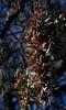 Monarch Butterflies<br /> Natural Bridges State Park, California<br /> 1211SC-B6