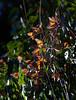 Monarch Butterflies<br /> Natural Bridges State Park, California<br /> 1211SC-B3