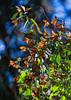 Monarch Butterflies<br /> Natural Bridges State Park, California<br /> 1211SC-B8E1