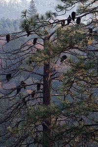 Turkey Vulture Roost Lake Wildwood, California 0712LW-TBR2