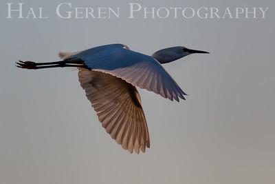 Great Egret flight Newark, California 1405N-GE14F