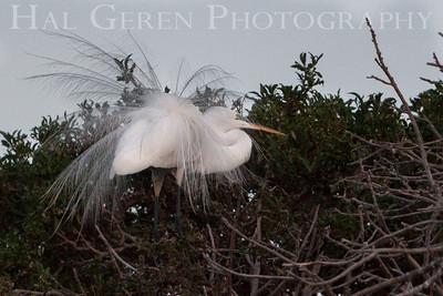 Great Egret Newark, California 1405N-GE9