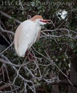 Cattle Egret male Newark, California 1405N-CE2