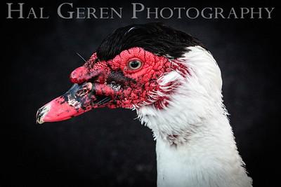 Muscovy Duck Newark, California 1405N-MD6