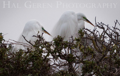 Great Egrets Newark, California 1405N-GE2