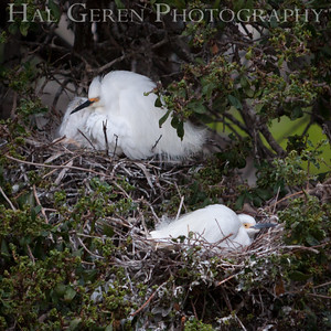 Snowy Egrets sitting Nests Newark, California 1405N-SE18N