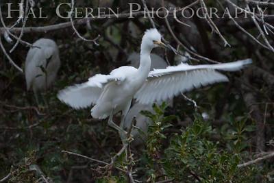 Great Egret fledgling Newark, California 1405N-GE3F