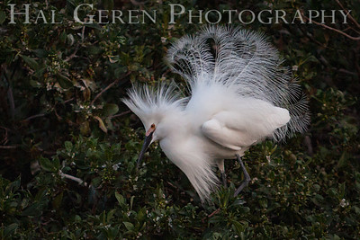 Snowy Egret Male Displaying for a Female Newark, California 1405N-SE2