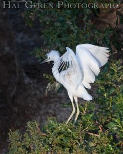 Great Egret fledgling Newark, California 1405N-GE4F