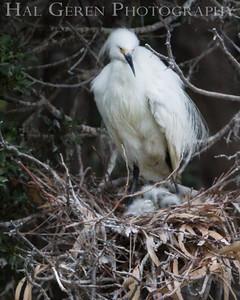 Snowy Egret Nest Newark, California 1405N-SE17N