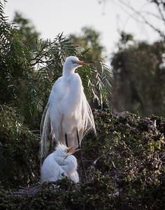 Great Egret nest Newark, California 1405N-GE8N