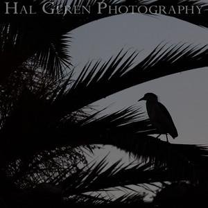 Black Crowned Night Heron Silhouette Newark, California 1405N-SBCNH1