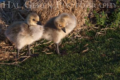 Ducklings; one is asleep Newark, California 1405N-D20