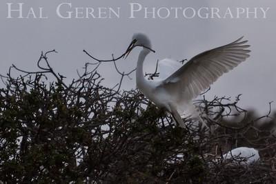 Great Egret gathering nesting material Newark, California 1405N-GE1NM