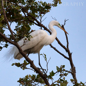 Great Egret Newark, California 1405N-GE11