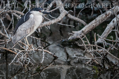 Black Crowned Night Heron Newark, California 1405N-BCNH5